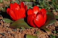 hyacinthaceae-daubenya_aurea_1.jpg