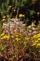 hyacinthaceae-lachenalia_cf_unifolia.jpg