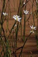 hypoxidaceae-spiloxene_aquatica.jpg