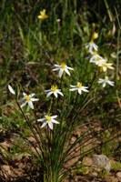 hypoxidaceae-spiloxene_serrata_1.jpg