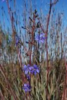 iridaceae-aristea_inaequalis.jpg