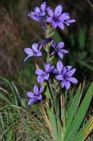 iridaceae-babiana_disticha.jpg