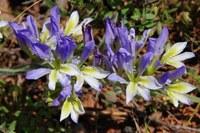 iridaceae-babiana_klaverensis_1.jpg