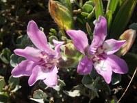 iridaceae-babiana_nana.jpg