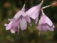 iridaceae-dierama_pendulum.jpg