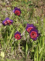 iridaceae-geissorhiza_radians_1.jpg