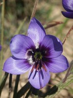 iridaceae-geissorhiza_splendidissima_1.jpg