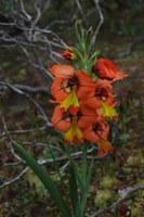 iridaceae-gladiolus_alatus.jpg