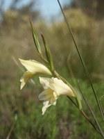 iridaceae-gladiolus_carinatus.jpg