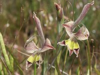 iridaceae-gladiolus_ceresianus.jpg