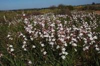 iridaceae-hesperantha_cucullata.jpg