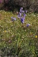 iridaceae-ixia_rapunculoides.jpg