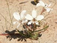 iridaceae-lapeirousia_fabricii.jpg