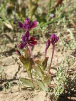 iridaceae-lapeirousia_jacquinii.jpg