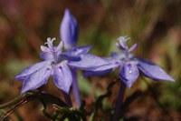 iridaceae-lapeirousia_montana_1.jpg