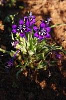 iridaceae-lepeirousia_oreogena.jpg
