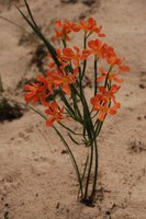 iridaceae-moraea_flaccida.jpg