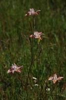 iridaceae-moraea_gawleri.jpg