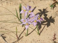 iridaceae-moraea_macrocarpa.jpg