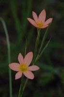 iridaceae-moraea_miniata.jpg