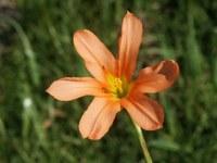 iridaceae-moraea_sp_1.jpg