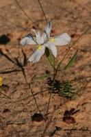iridaceae-moraea_sp.jpg