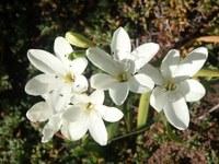 iridaceae-sparaxis_bulbifera.jpg