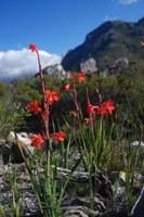 iridaceae-watsonia_coccinea.jpg