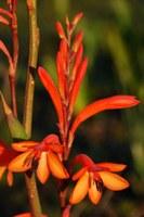 iridaceae-watsonia_schlechteri.jpg