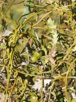lauraceae-cassytha_ciliolata.jpg