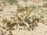 malvaceae-hermannia_linifolia.jpg