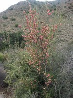 meliaceae-nymania_capensis.jpg
