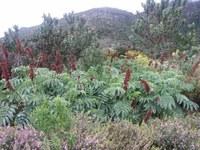 melianthaceae-melianthus_major.jpg