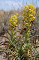 orchidaceae-corycium_crispum.jpg