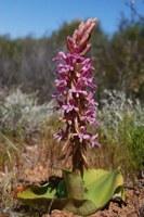 orchidaceae-satyrium_erectum.jpg