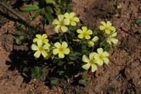 oxalidaceae-oxalis_cf_compressa.jpg