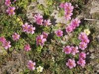 oxalidaceae-oxalis_purpurea.jpg