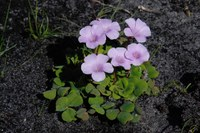 oxalidaceae-oxalis_sp_3.jpg