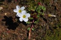 oxalidaceae-oxalis_sp.jpg