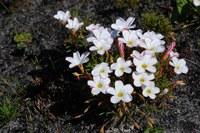 oxalidaceae-oxalis_versicolor.jpg