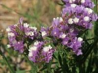 plumbaginaceae-limonium_sinuatum.jpg