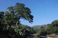 podocarpaceae-podocarpus_falcatus.jpg