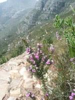 polygalaceae-muraltia_sp.jpg