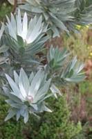 proteaceae-leucadendron_argenteum.jpg