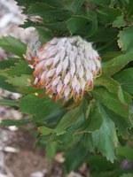 proteaceae-leucadendron_cryptocephalum.jpg