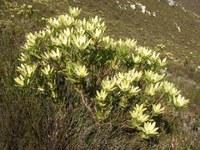 proteaceae-leucadendron_gandogeri_2.jpg