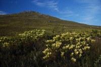 proteaceae-leucadendron_gandogeri.jpg