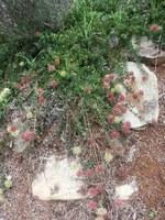 proteaceae-leucadendron_prostratum.jpg