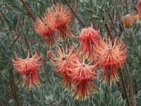 proteaceae-leucospermum_reflexum.jpg