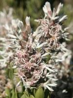 proteaceae-paranomus_adiantifolius.jpg